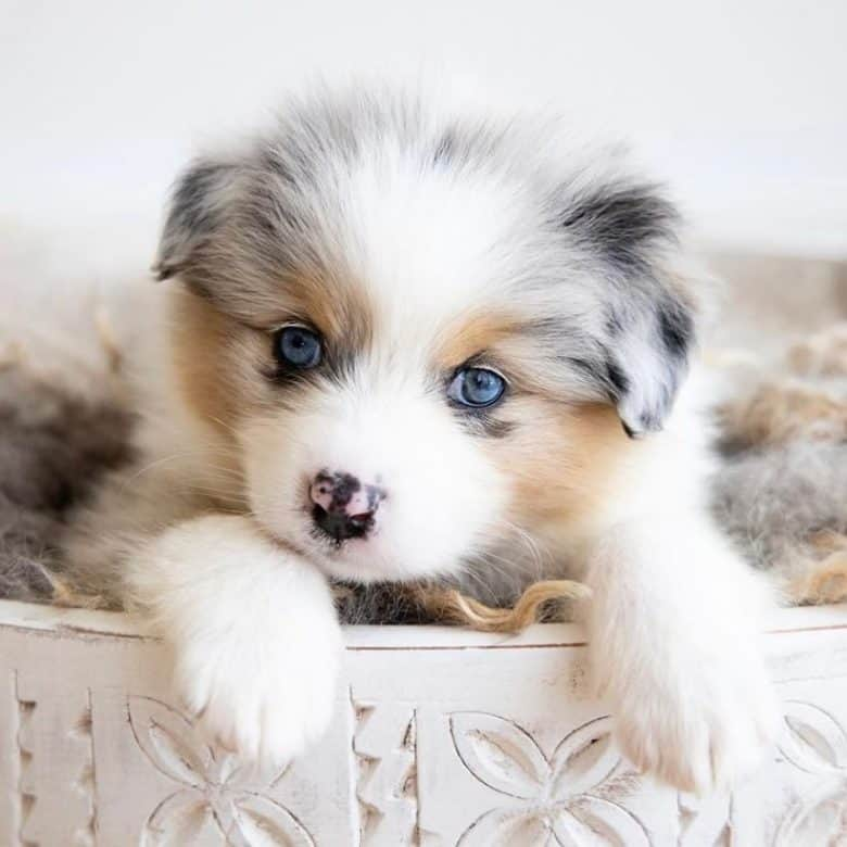 An Aussie Pom puppy with the captivating eyes