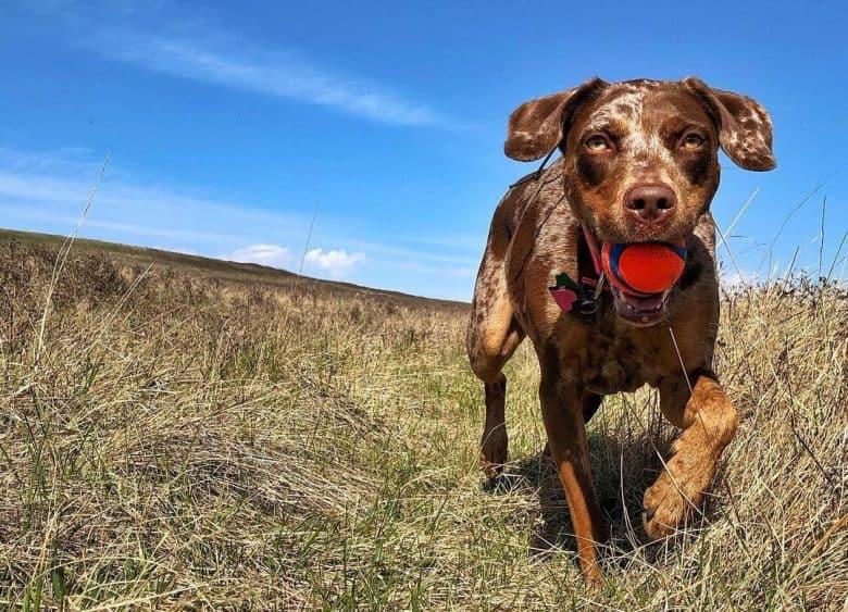 a running Catahoula Leopard Dog biting a red ball