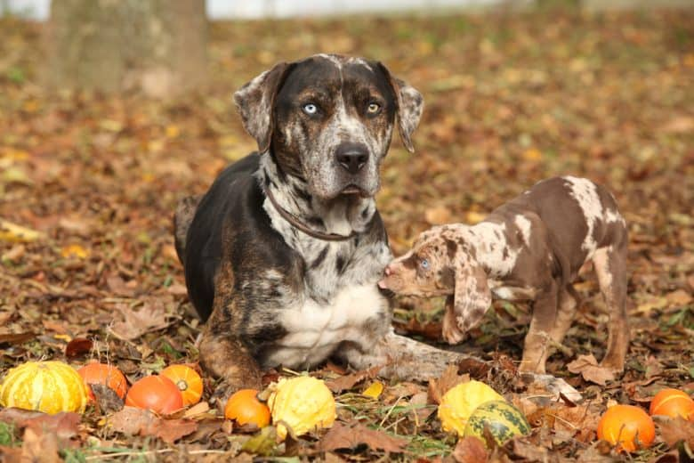 a Catahoula Leopard dog with a puppy