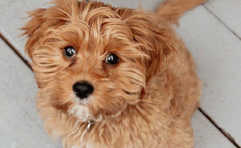 Portrait of Cavalier King Charles Spaniel Poodle mix dog