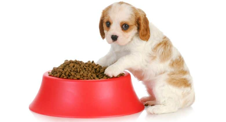 A Cavalier King Charles Spaniel puppy lean on bowl full of food