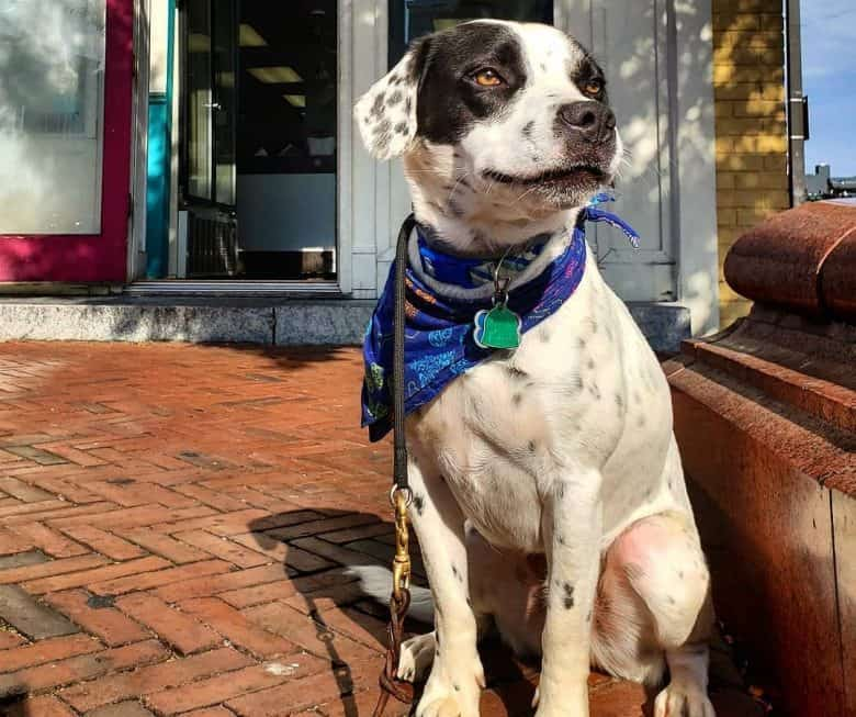 A handsome Beaglemation wearing a blue bandana