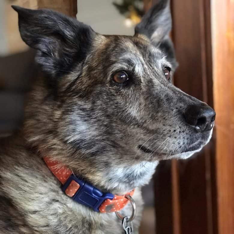A good-looking Chow Greyhound close-up image