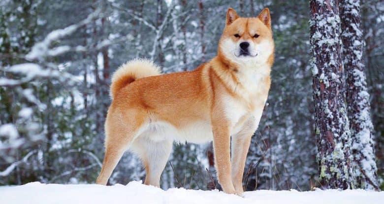 Charming Hokkaido dog standing on a snow