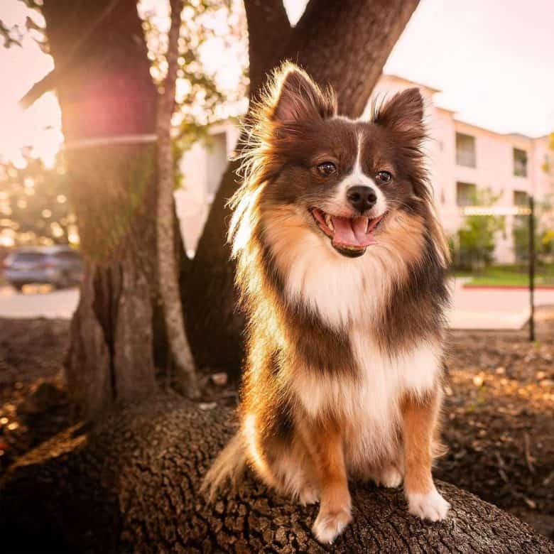 A Poshie dog loving the summer