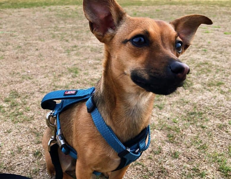 Chihuahua German Shepherd mix dog with blue harness sitting on field