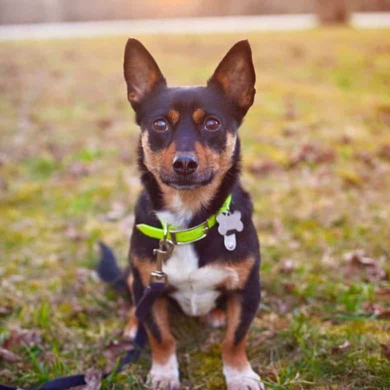 A Chihuahua German Shepherd mix sitting adorably and wearing a lime collar