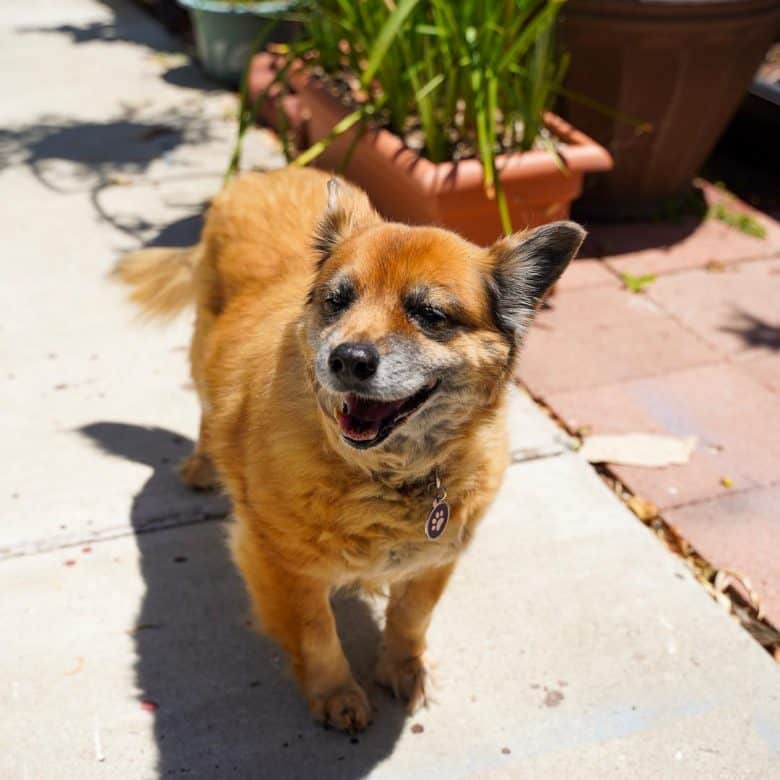 A brown Chihuahua GSD mix standing under the sun