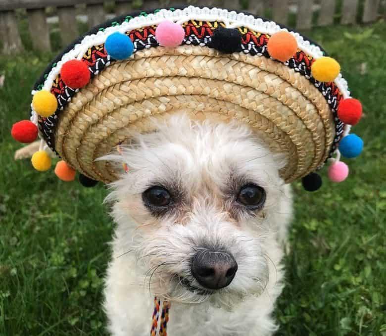 Chihuahua Poodle mix dog wearing Cinco de Mayo hat