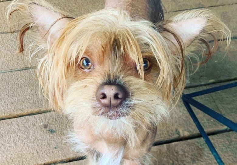 Chinese Crested and Yorkie mix dog portrait