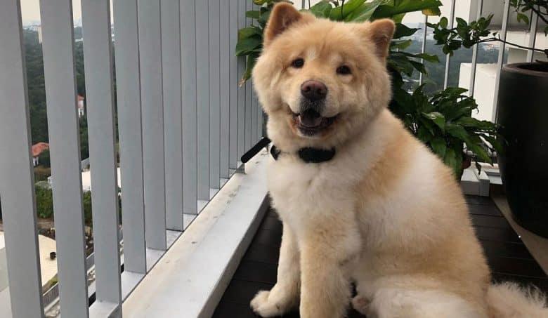 Chow Chow Poodle mix dog portrait