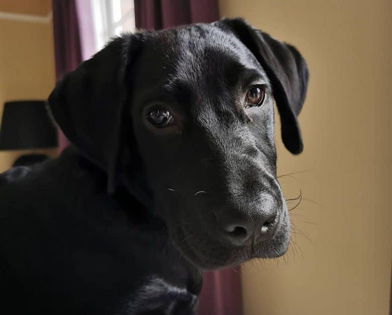 A sweet black Labrador close-up image
