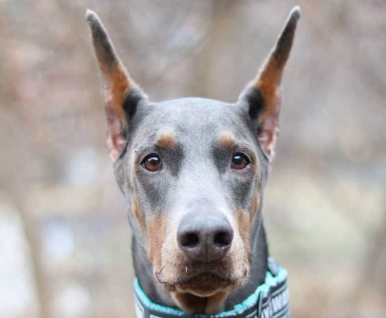 A close-up portrait of a Blue Dobie with pointed ears