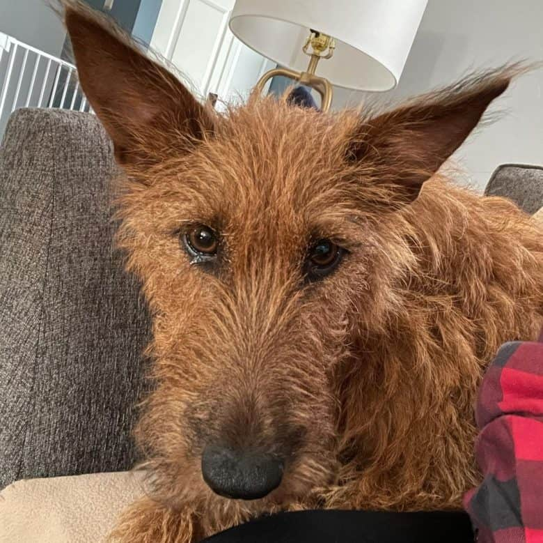 A close-up image of an Irish Terrier with puppy dog eyes