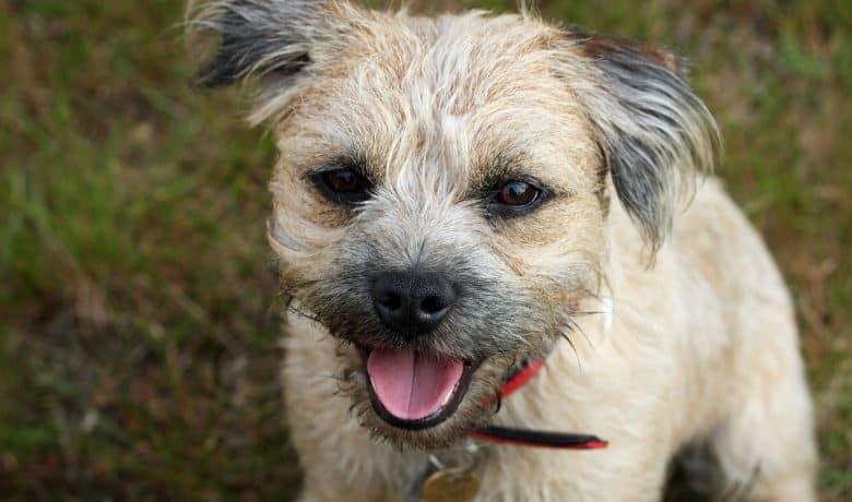 Close-up portrait of Border Terrier dog