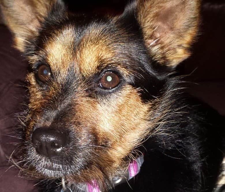 Close-up portrait of German Shepherd and Yorkie mix dog