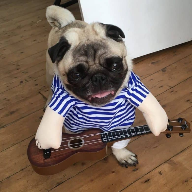 A Pug wearing a costume with a guitar