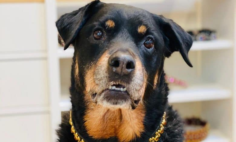 A senior Rottweiler wearing a handmade collar