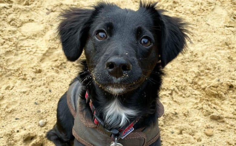 Cocker Spaniel Jack Russell Terrier mix dog sitting on the sand