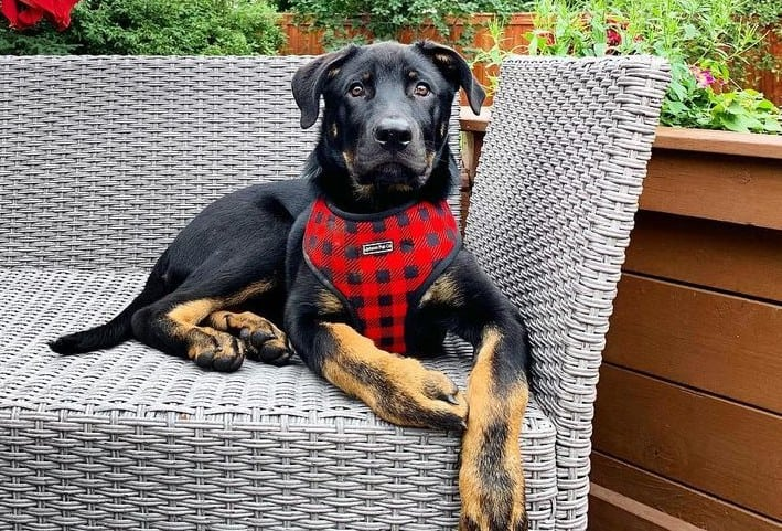 A resting Weiler Dane on a couch with red plaid harness