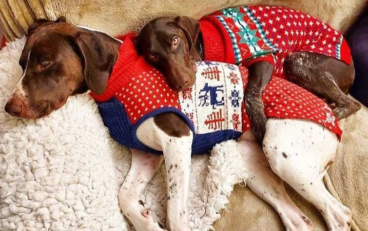 A GSP puppy cuddling a GSP dog, both wearing Christmas sweater