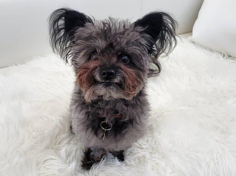 A cuddly Pom-A-Nauze on a fur rug