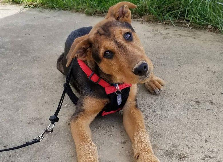 Curious Airedale Terrier German Shepherd mix dog portrait