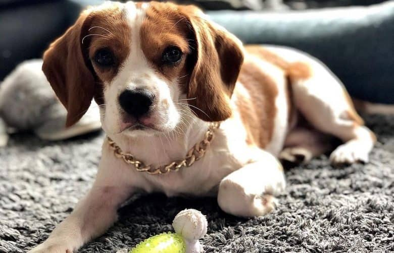A gold chain Beaglier laying on a rug