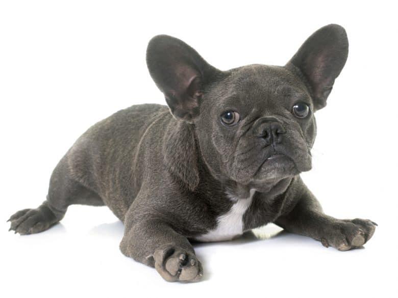 A Blue French Bulldog puppy portrait