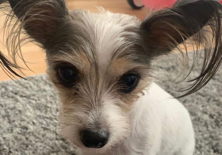 Cute Chinese Crested Jack Russell mix dog portrait