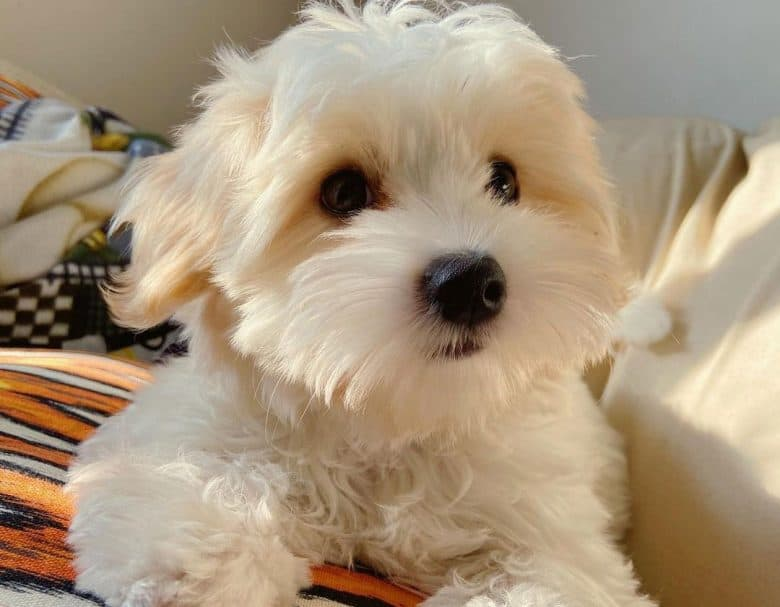 Coton de Tulear and Yorkie mix dog portrait
