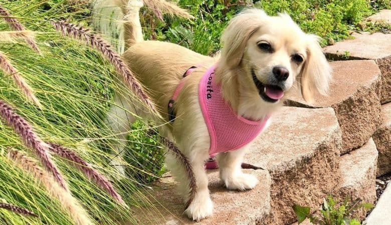 Cute Dachshund and Maltese mix dog with pink outfit