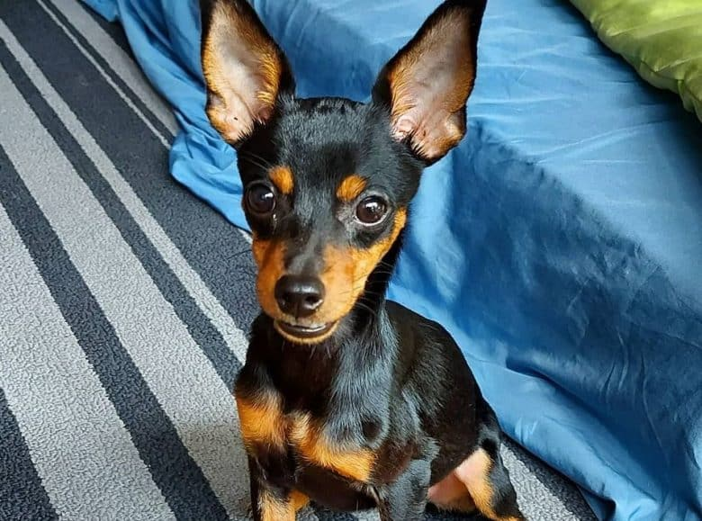 An adorable Min Pin puppy sitting on a carpet