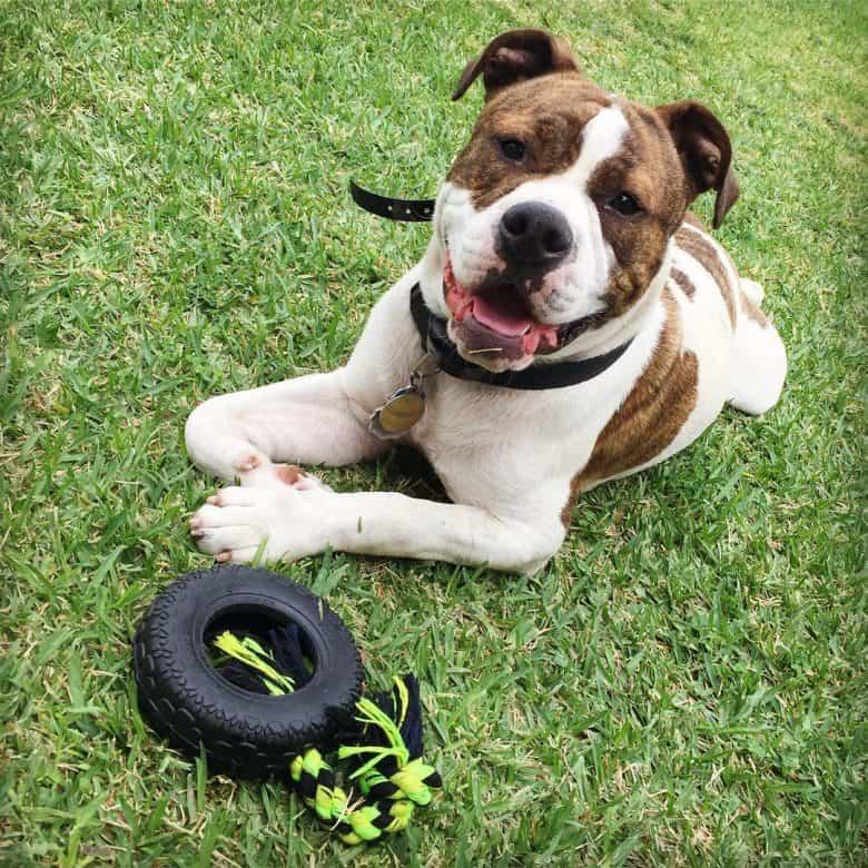 A smiling Pitbull English Bulldog mix puppy laying on grass