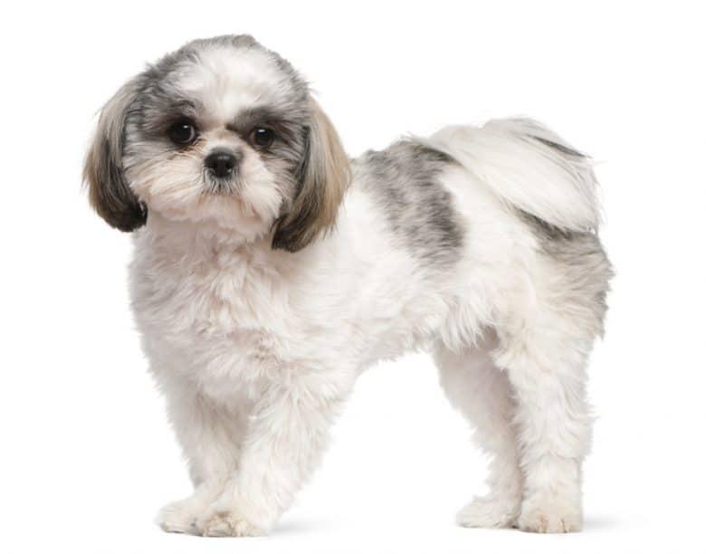 A portrait of a Shih Tzu puppy standing