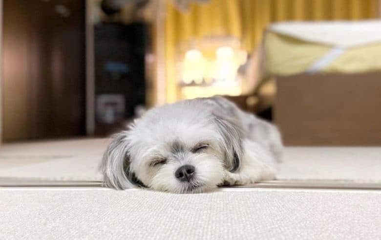 Cute sleeping Maltese Chihuahua mix pup