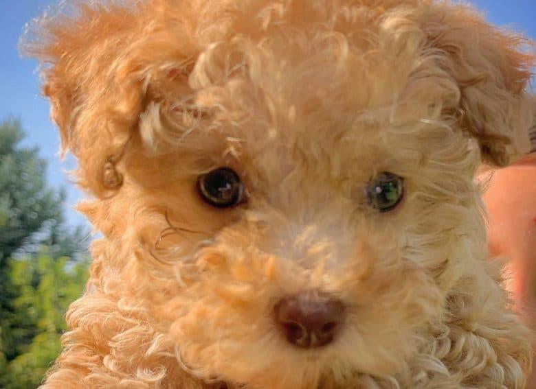An adorable Teacup Goldendoodle puppy