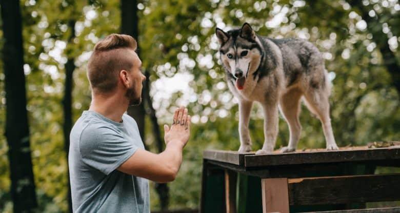 Cynologist gesturing command to Husky dog