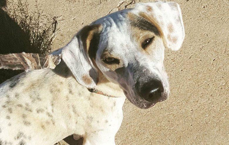 Dachshund and Dalmatian mix dog portrait