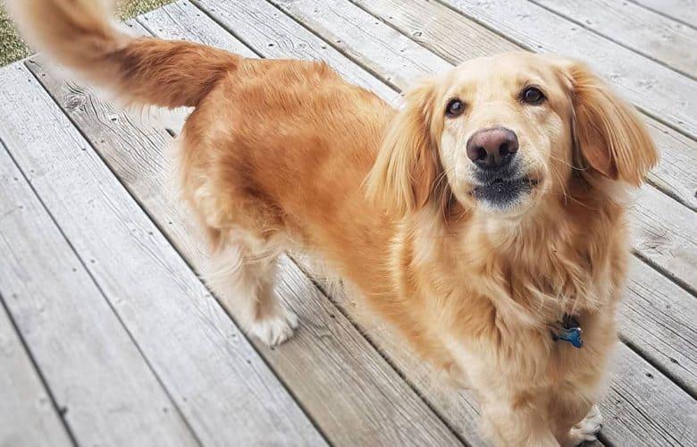 Dachshund and Golden Retriever mix dog portrait