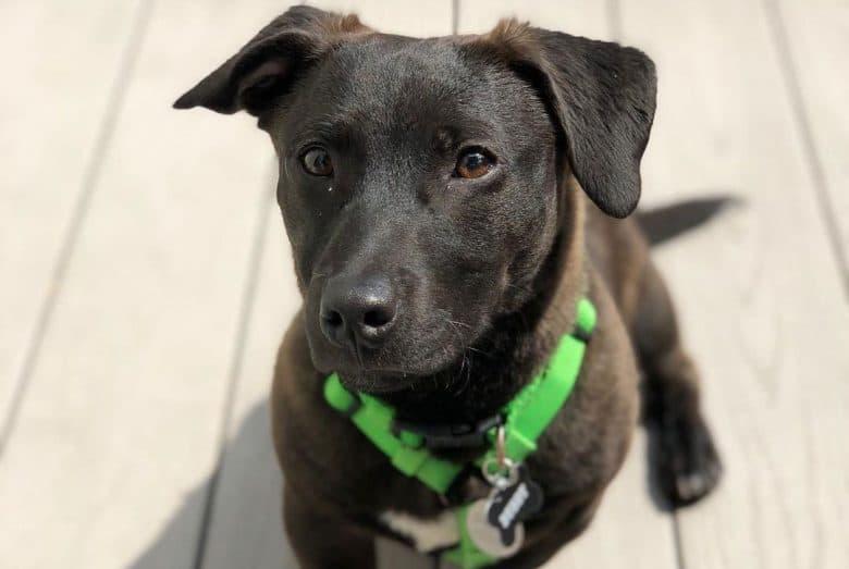 Dachshund and Labrador Retriever mix dog portrait