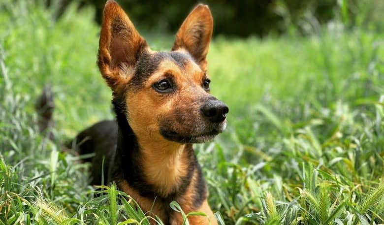 Dachshund German Shepherd mix dog lying on the grass