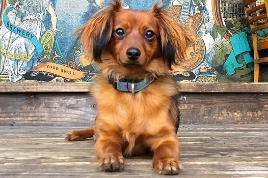 A Dameranian dog portrait