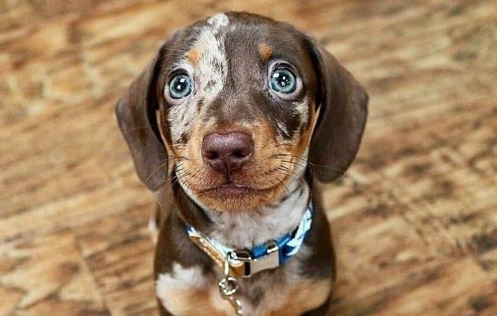 A wide-eye Dachshund puppy sitting on the wooden floor