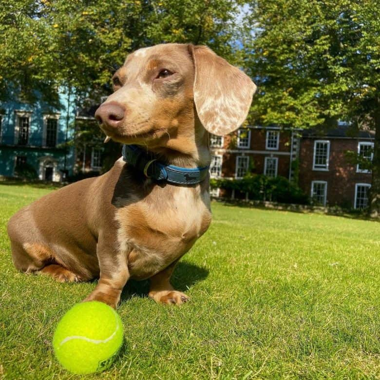 A Dapple Doxie outdoors with a tennis ball