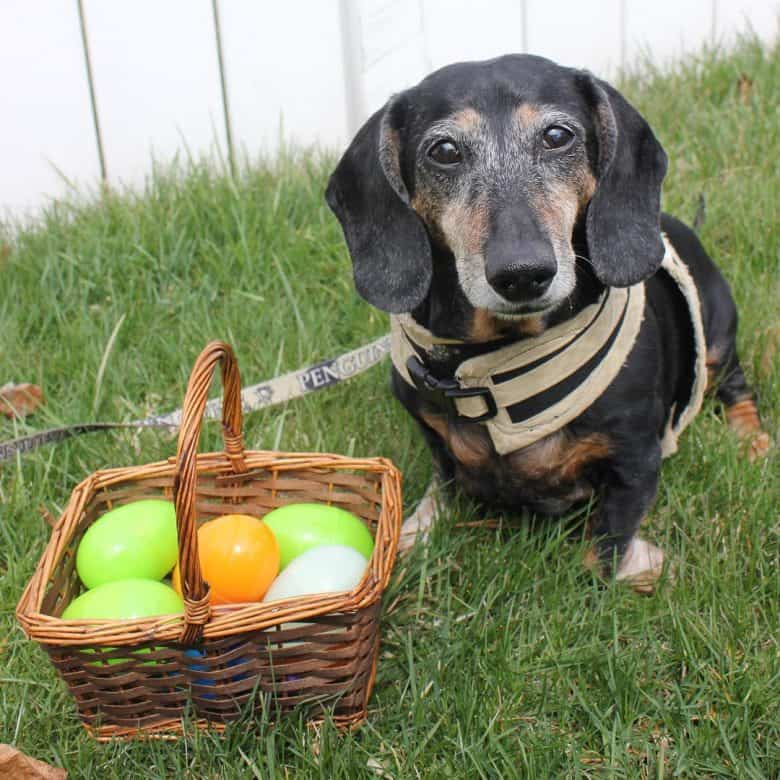 A Daxie sitting on the grass with easter eggs
