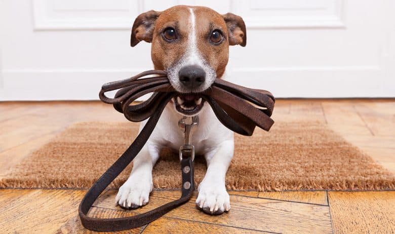 Dog chewing his leather leash