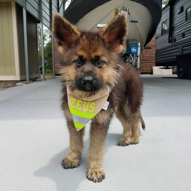 A cute dwarf German Shepherd with a bandana