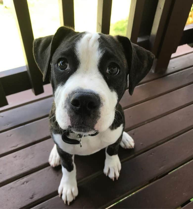 A Black and White English Bulldog Pitbull mix sitting on a wooden floor