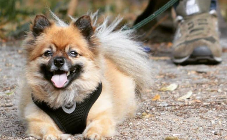 A beaming German Pom laying down wearing a harness